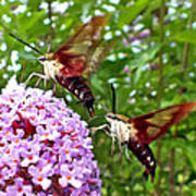 Hummingbird Moths Poster