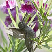 Hummingbird On A Desert Willow Poster
