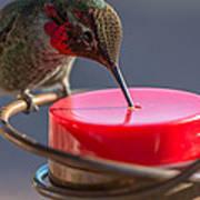 Hummingbird On Feeder Poster
