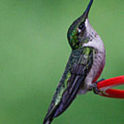 Hummingbird Profile Poster