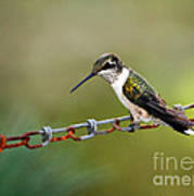 Hummingbird Resting On A Chain Poster