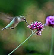 Hummingbird With Purple Verbena Poster