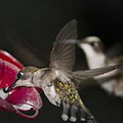 Hummingbirds In Flight Poster by Nelson Watkins