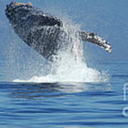 Humpback Whale Breaching Poster by Bob Christopher