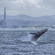 Humpback Whale Breaching By Shane Keena  Poster