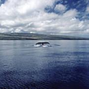 Humpback Whale Tail Slap Hawaii Poster