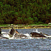 Humpback Whales Feeding Poster