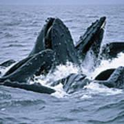 Humpback Whales Gulp Feeding On Herring Poster