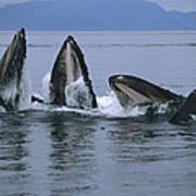 Humpback Whales Gulp Feeding Southeast Poster