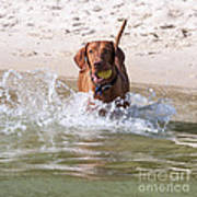 Hungarian Vizsla With Ball At The Beach Poster