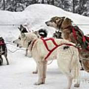 Husky Dogs Pull A Sledge  Poster
