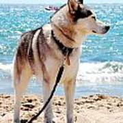 Husky On The Beach Poster