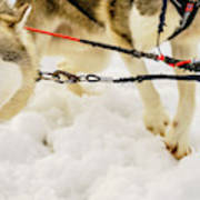 Husky Sled Dogs, Lapland, Finland Poster