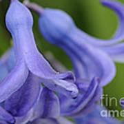 Hyacinth Closeup Poster