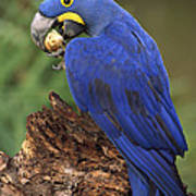 Hyacinth Macaw Eating Piassava Palm Nuts Poster