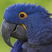 Hyacinth Macaw Portrait Poster