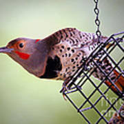 Intergrade Red Shafted And Yellow Shafted Northern Flicker Male Poster