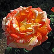 Hybrid Tea Rose Poster