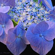 Hydrangea Blossom Macro Poster