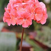 Hydrangea Flower Poster
