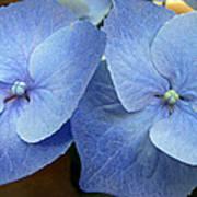 Hydrangea Flower Set Poster