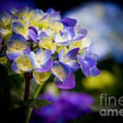 Purple Blue Hydrangea, Corona Del Mar California Poster