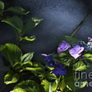 Hydrangea Violet-blue Poster