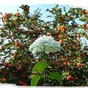 Hydrangea With Mountain Ash Poster