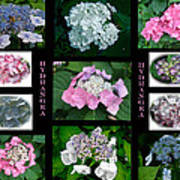 Hydrangeas On Parade Poster