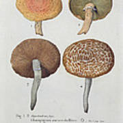 Hypodendrums Fagi And Queris Poster