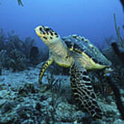 I Am A Proud Hawksbill Turtle Poster