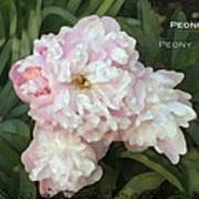 I Cry For You My Peonies Poster