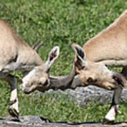 Ibex Doing Battle Poster
