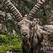 Ibex Pictures 190 Poster