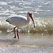 Ibis Walking The Beach Poster