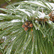 Iced Over Pine Cones Poster