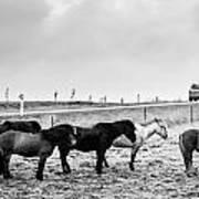 Icelandic Ponies Poster