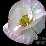 Icelandic Poppy Version Two Poster