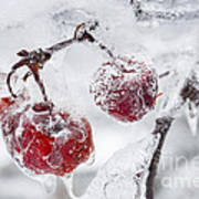 Icy Branch With Crab Apples Poster