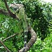 Iguana In A Tree Poster