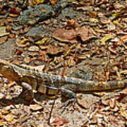 Iguana On A Trail In Manuel Antonio National Preserve-costa Rica Poster