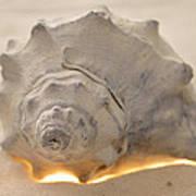 Illumination Series Sea Shells 7 Poster