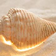 Illumination Series Sea Shells 8 Poster