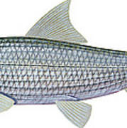 Illustration Of A Bonefish Albula Poster by Carlyn Iverson