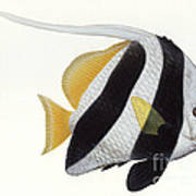 Illustration Of A Pennant Coralfish Poster by Carlyn Iverson