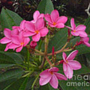 Immaculate Pink Plumerias Poster
