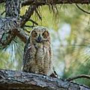 Immature Great Horned Owl Poster