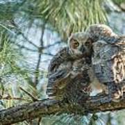 Immature Great Horned Owls Poster