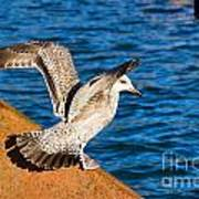 Immature Herring Gull At The Harbour Poster