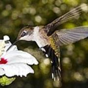 Immature Ruby-throated Hummingbird Poster